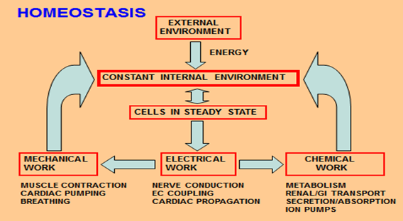image of an homeostasis body process